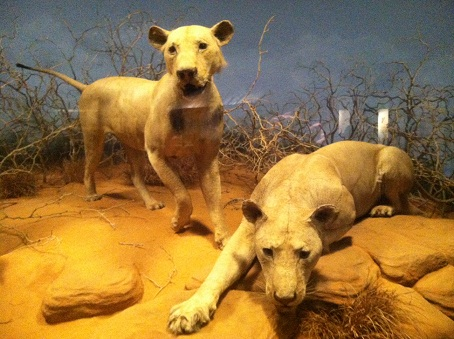 The taxidermied Maneaters in their current home at the Field Museum